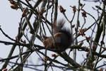Red squirrel munching on fresh shoots. by Eternatease