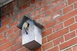 Parus major at a bird box.