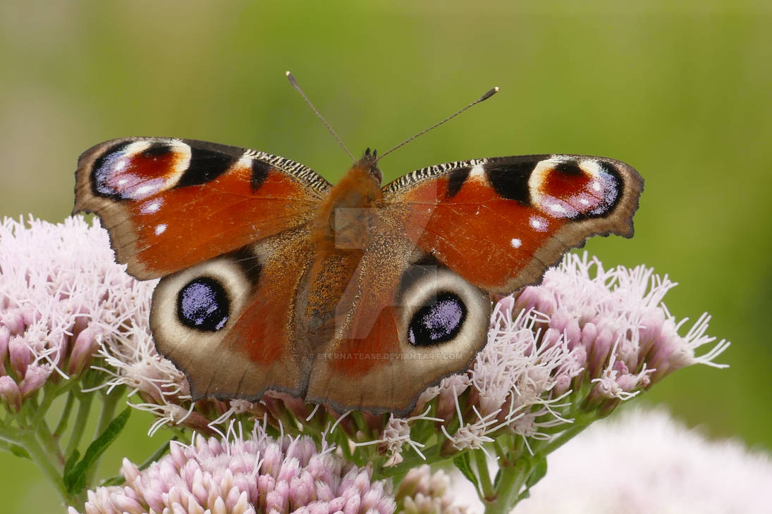 Aglais Io butterfly.