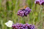 Butterflies at the Verbena Diner.