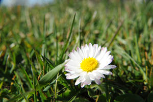 Solitary Daisy by databank