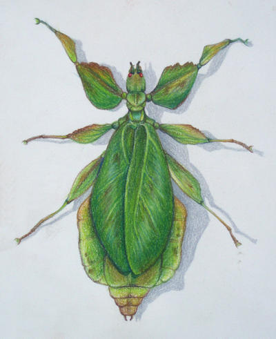 leaf bug study by alkahla on deviantart. Black Bedroom Furniture Sets. Home Design Ideas