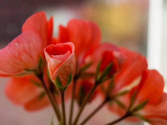 Peachy Pelargonium by sandrability