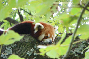 Hidden Red Panda by DingoDogPhotography