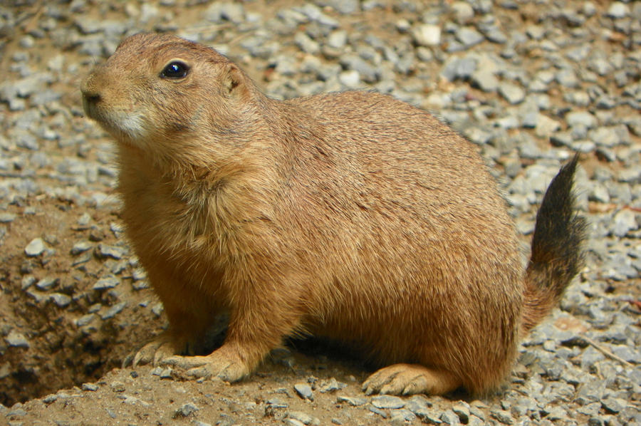 Black Tailed Prairie Dog | www.pixshark.com - Images ...