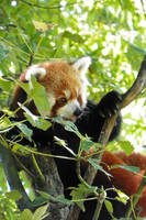 Red Panda playing in a tree by DingoDogPhotography