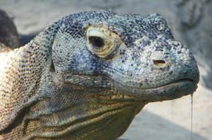 Dragon Drool- 'Komodo Dragon' by DingoDogPhotography