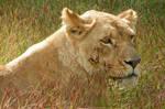 Lioness of the Grasslands