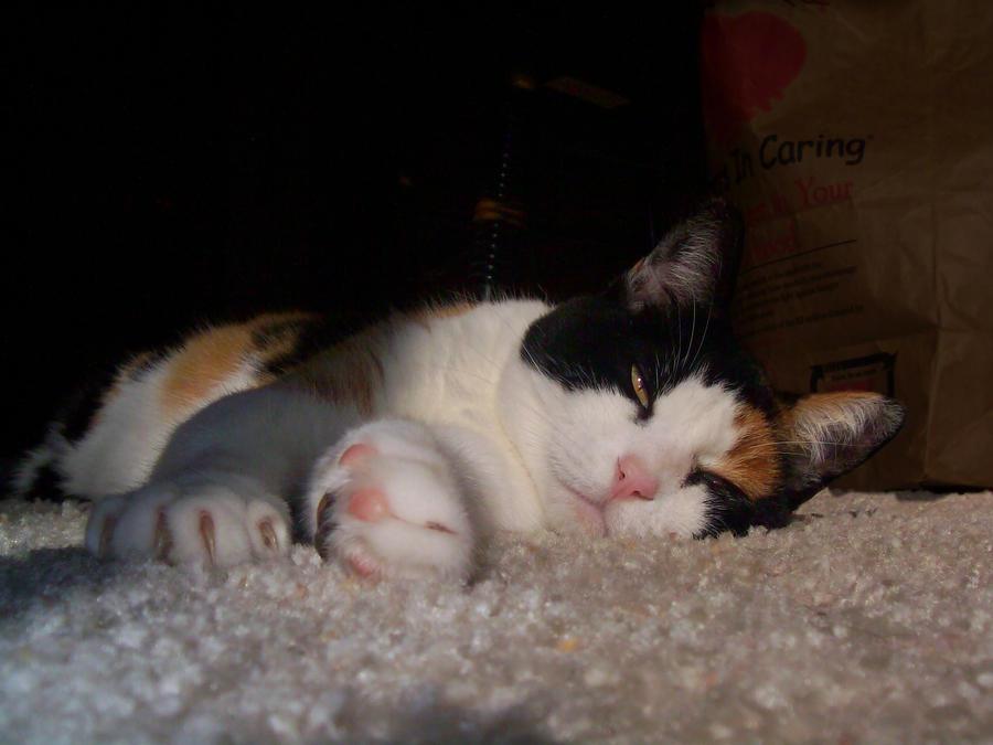 Sleepy little Callie Cat by DingoDogPhotography