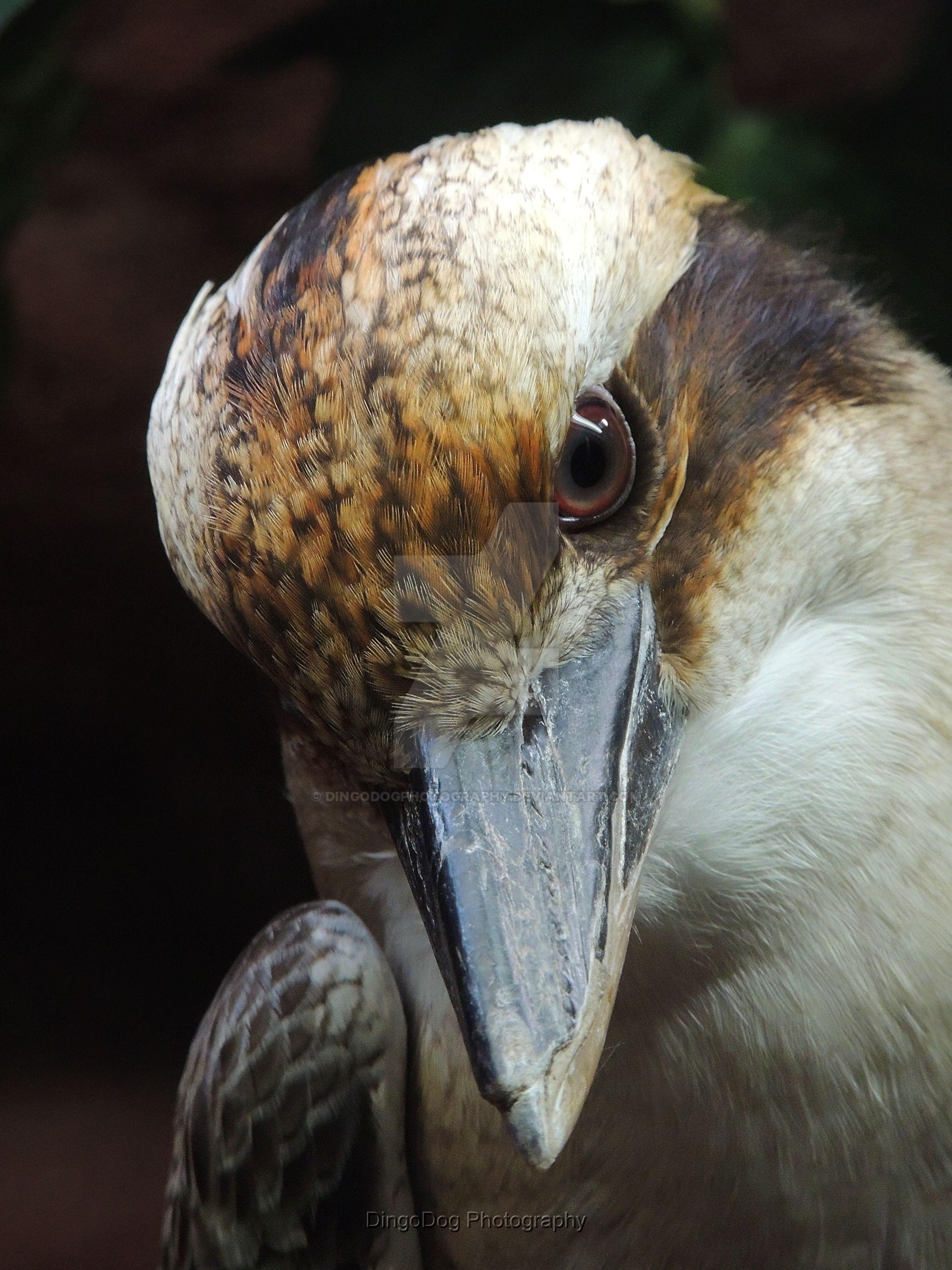 Australian Laughing Kookaburra by DingoDogPhotography
