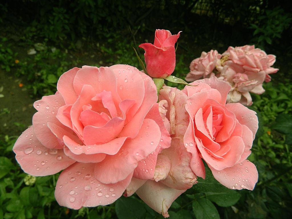 Soft like a..rose by Magic-diamond