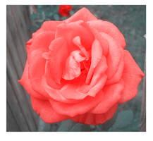 Soft like a rose by Magic-diamond