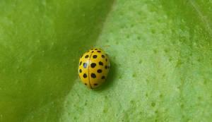 Yellow ladybug by Magic-diamond