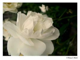White Rose by Magic-diamond