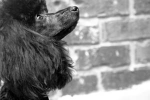 Poodle Profile by laura-kristen