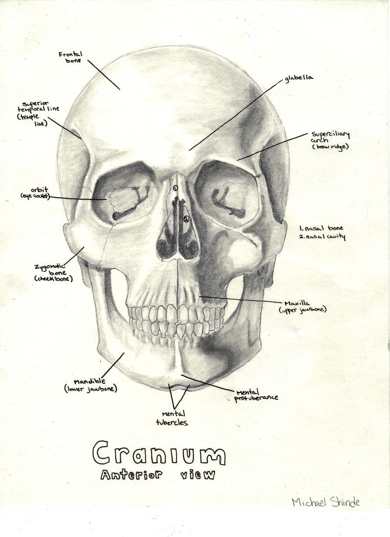 Anatomical Skull by hapa93