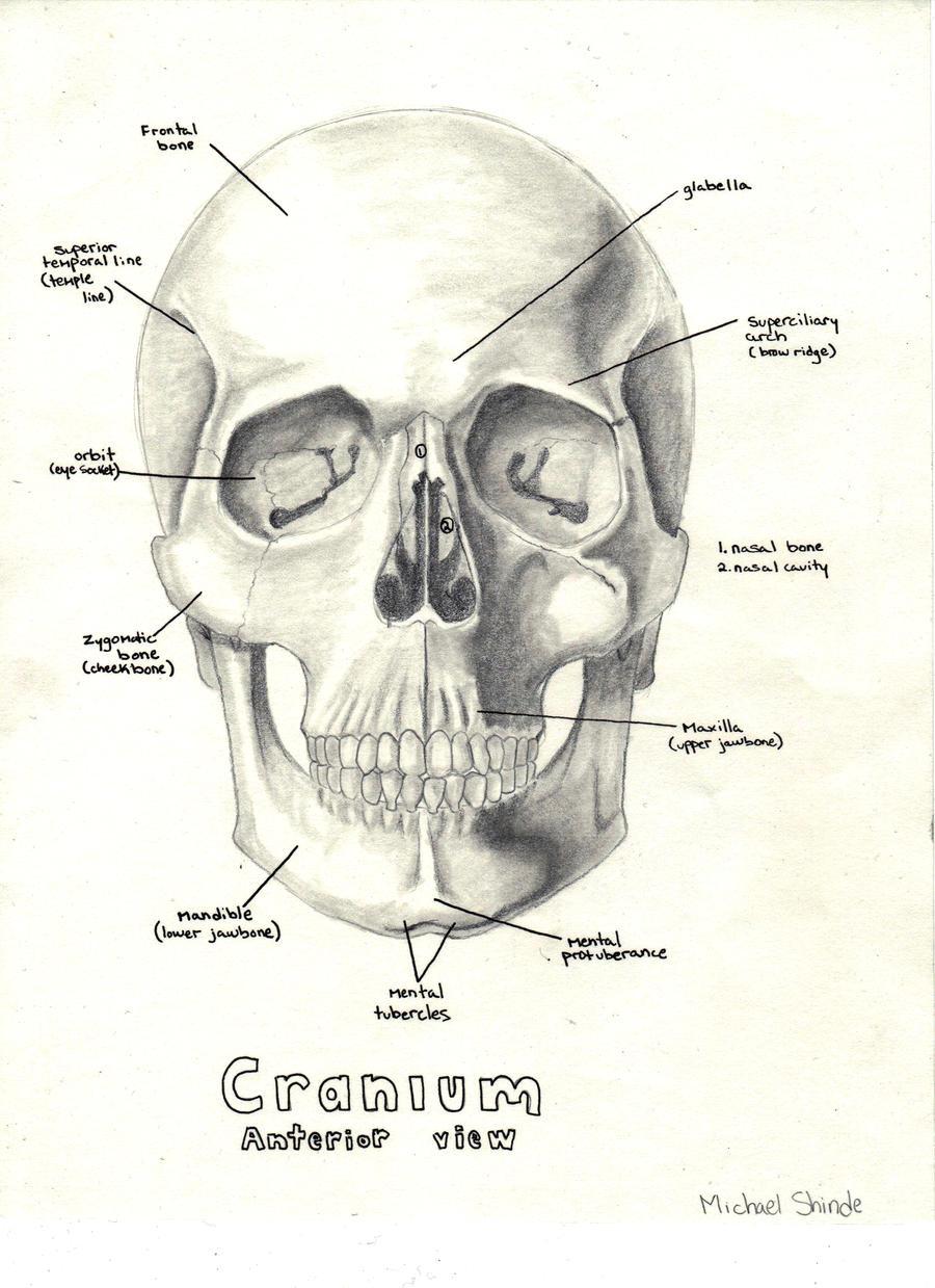 Anatomical Skull by hapa93