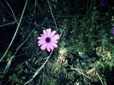 purple daisy weedy 03/06/17 by TigerWaffle