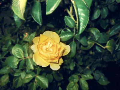 cute yellow rose 04/25/17 by TigerWaffle