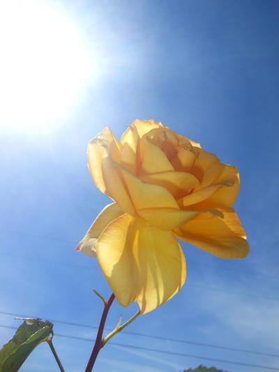 sunny yellow rose 04/25/17 by TigerWaffle