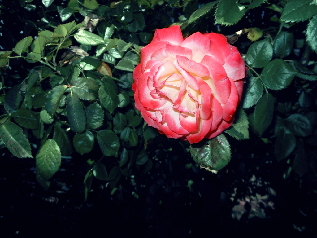 red/white rose 04/25/17 by TigerWaffle