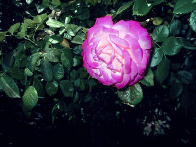 purple/white rose 04/25/17 by TigerWaffle