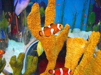 Clownfish Stock by Moonstone-Designs