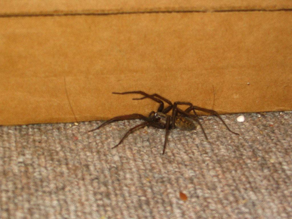 Hobo Spider Size - fedinvestonline