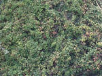 Texture - blackberry bushes.