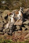 lemurs by craig1503