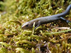 Little lizard 2