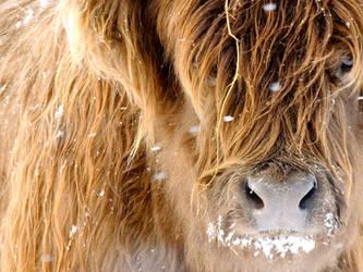 Heifer by ragingviolence