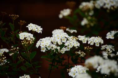 The white by dark-cheshire
