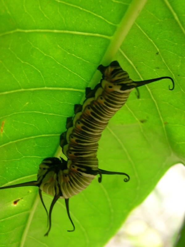 caterpillar by Stockinthebox