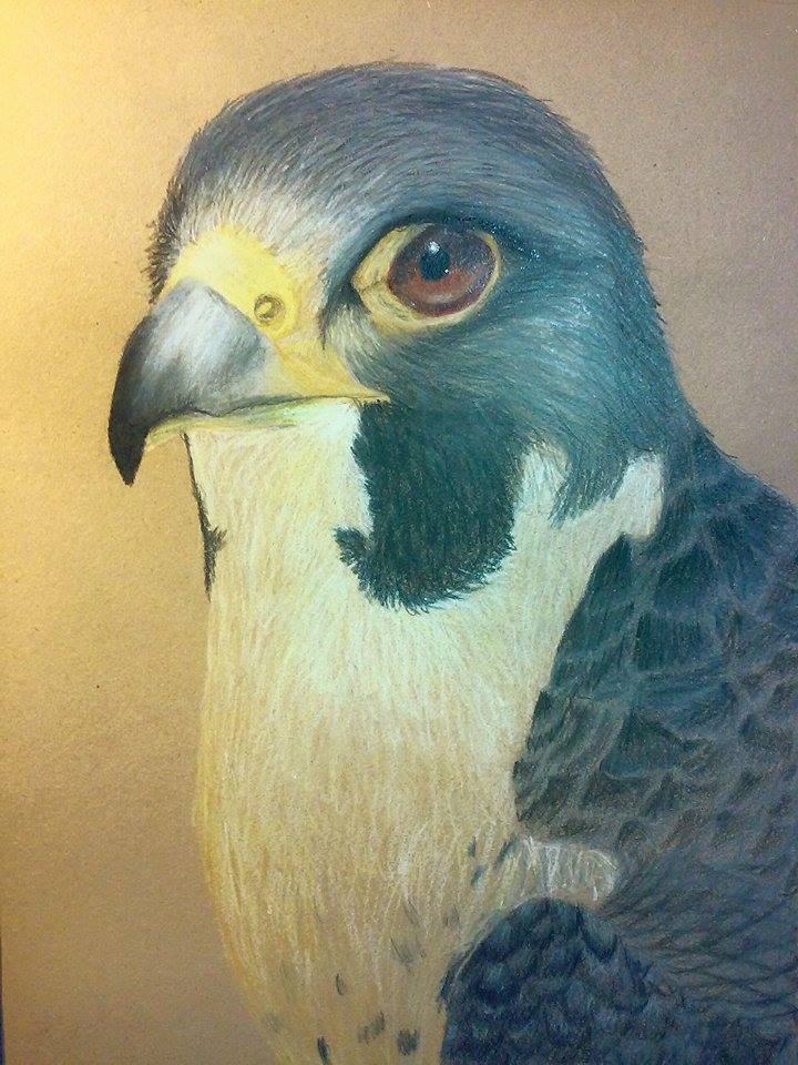 100 Species Challenge #56: Falconiformes by Sabhira
