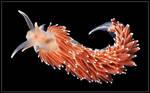 Northern Sea Slug