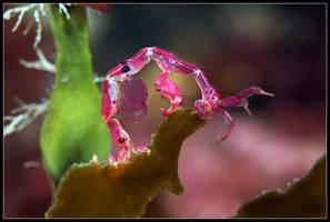 Caprella eating Laminaria by half-scientific