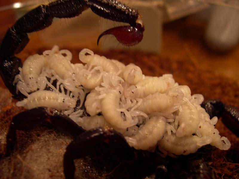 Emperor Scorpion - Babies by Cerulean-Serpent