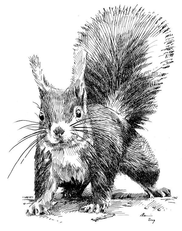 Line Drawing Squirrel : Squirrel by vomajda on deviantart