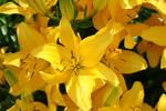 Yellow Lilies.