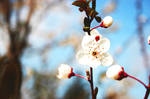 cherry blossoms 10