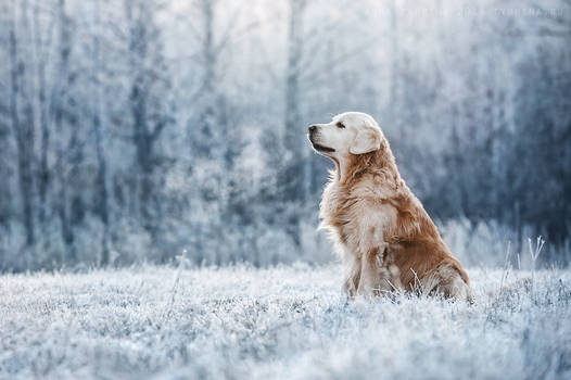 Golden Retriever. Sarov, Russia.