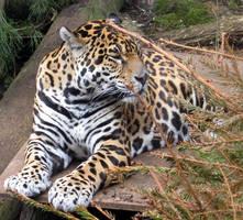 leopard by bryanrob