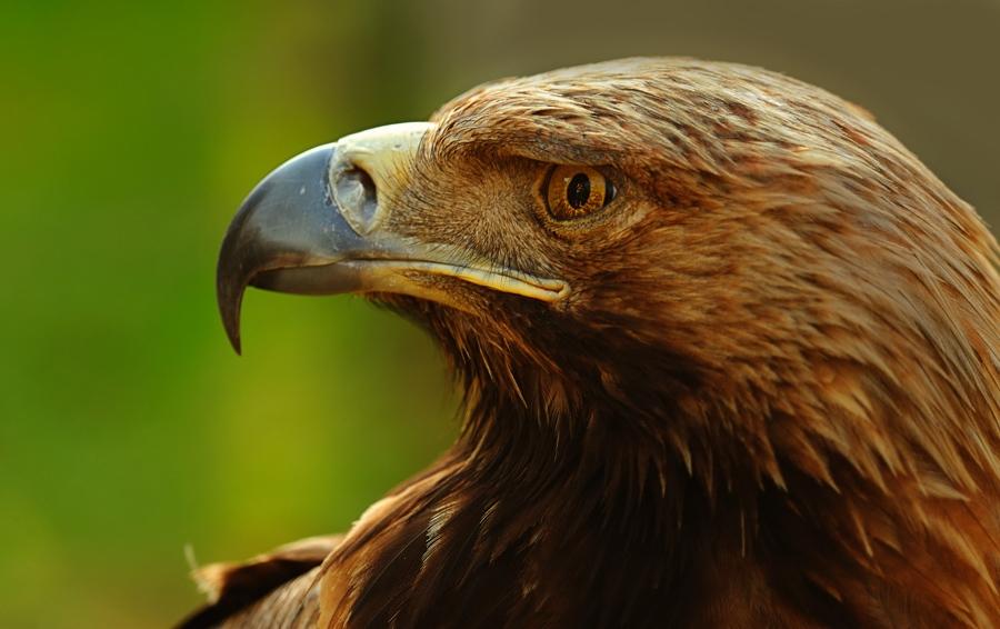 Eagle by kaptanselcuk