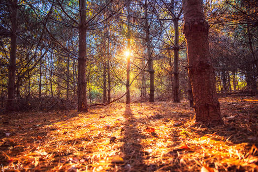 Into the golden forest II