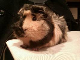 Porky, my sweet Guinea Pig by BlackAntoid