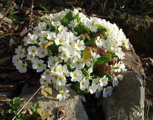 Spring and Primulas