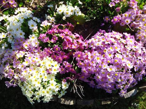 Spring and Primulas (2)
