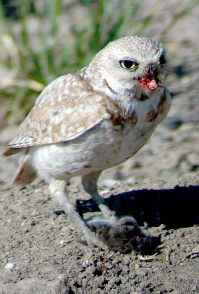 Burrowing Owl by Damascena