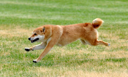 Lure Coursing with Conker by Losech